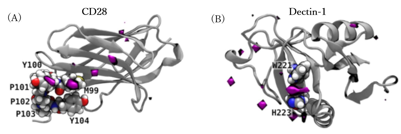 β-1,3-オリゴグルカンと免疫受容体CD28との相互作用